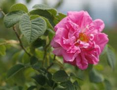 薔薇の滴 ばらのしずく ブルガリア産天然ダマスクローズオイル厳選使用