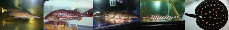 古代魚・大型魚
