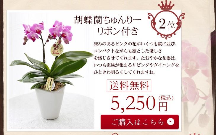 胡蝶蘭ちゅんりーリボン付き5250円