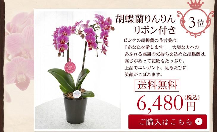 胡蝶蘭りんりんリボン付き6480円