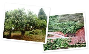 高山の厳しい自然環境 お茶のルーツの地より誕生