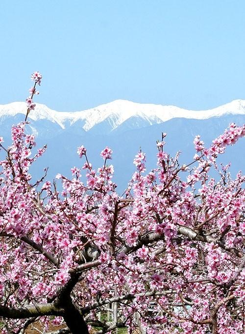 桃の写真2