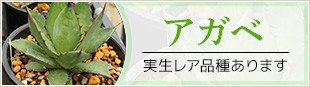 アガベ 実生レア品種あります