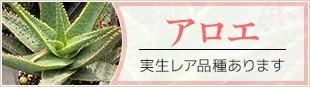 アロエ 実生レア品種あります