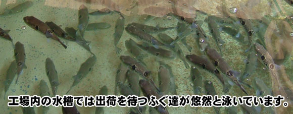 工場内の水槽では新鮮なふぐが泳いでいます!