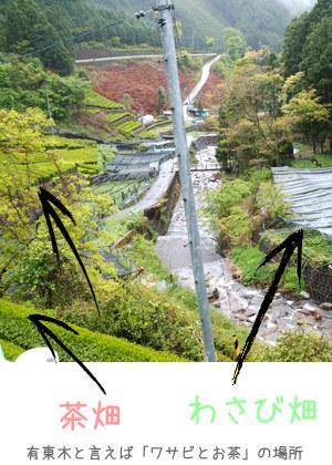 ワサビ棚と茶畑が広がる地帯