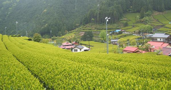 山肌に広がる茶畑
