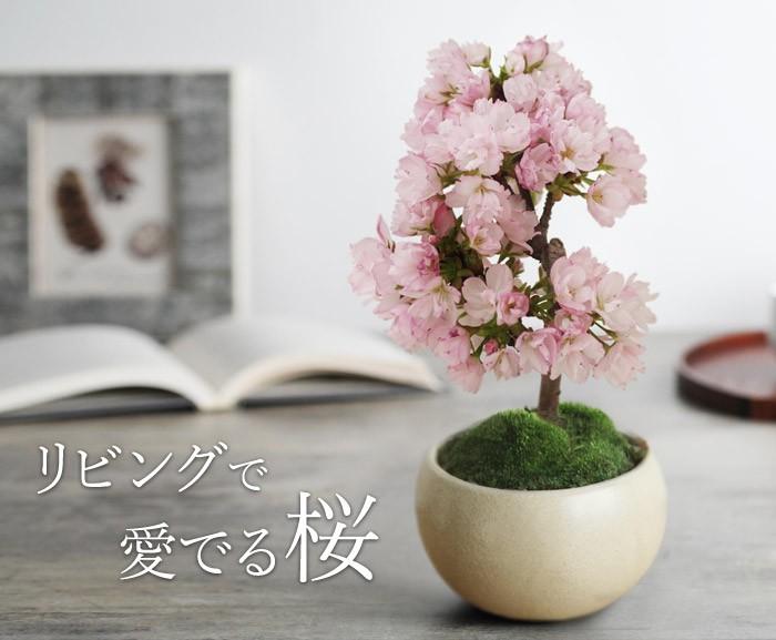 リビングで愛でる桜