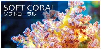 サンゴ ソフトコーラル