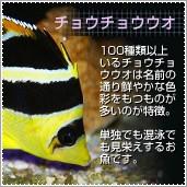 海水魚 チョウチョウウオ