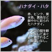 海水魚 ハナダイ・ハタ