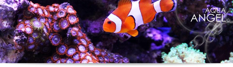 海水魚の通信販売、サンゴの通販、飼育用品の販売専門店 アクアエンゼルYahoo!ショッピング店です。
