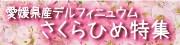 愛媛県産デルフィニュウムさくら