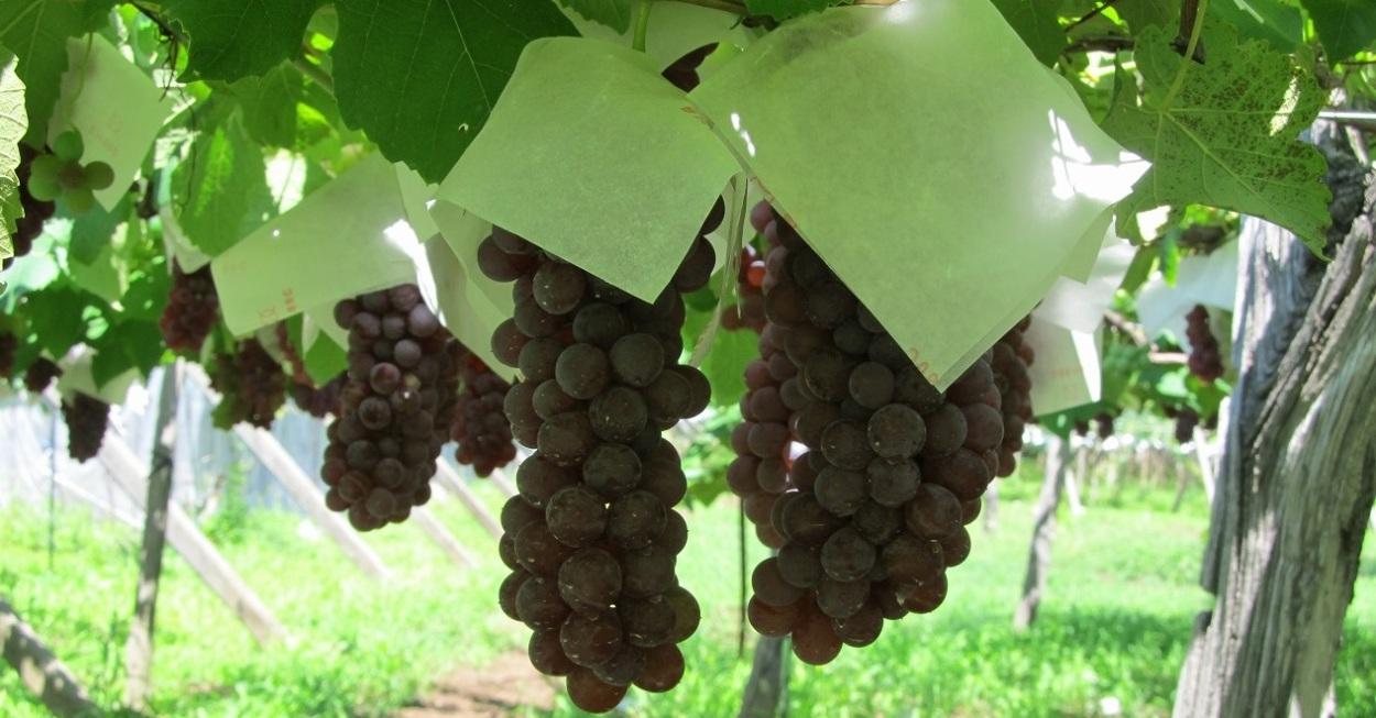 ふるさとブドウ園 ロゴ