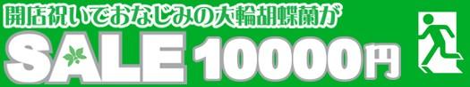 大きな胡蝶蘭が10,000円♪