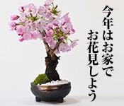 桜 手作り信楽鉢