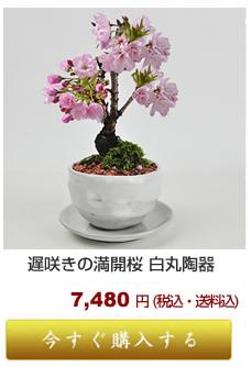 遅咲き桜 松