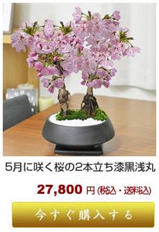 遅咲き桜 梅