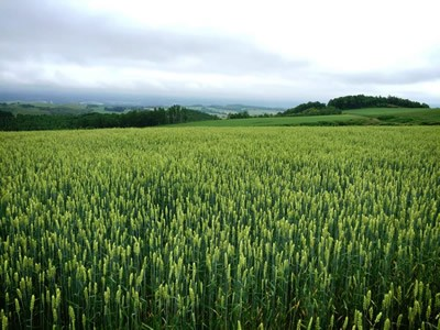 上富良野の小麦畑の写真2