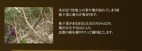 冬が近づき地上の茎や葉が枯れてしまう頃地下茎に養分が集まります。地下茎がまるまると太る11月から12月、葛が自生する山に入り、良質の根を選りすぐって掘り起こします。