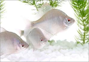 日本淡水魚の魅力