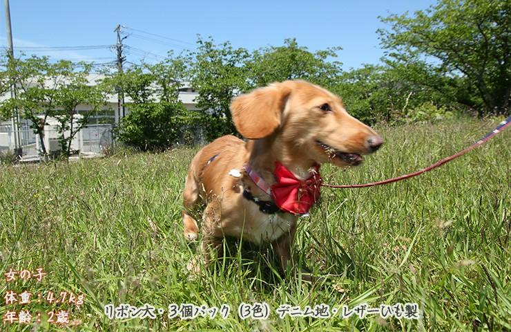 犬のリボン写真