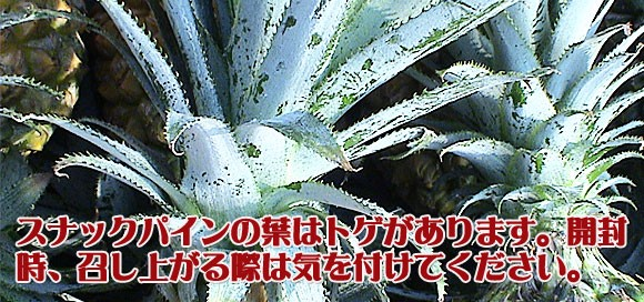 スナックパインの葉はトゲがあるので注意