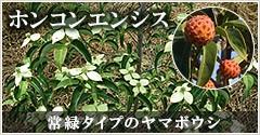 常緑タイプのヤマボウシ
