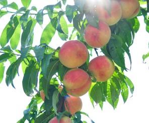 伊達水蜜園の桃