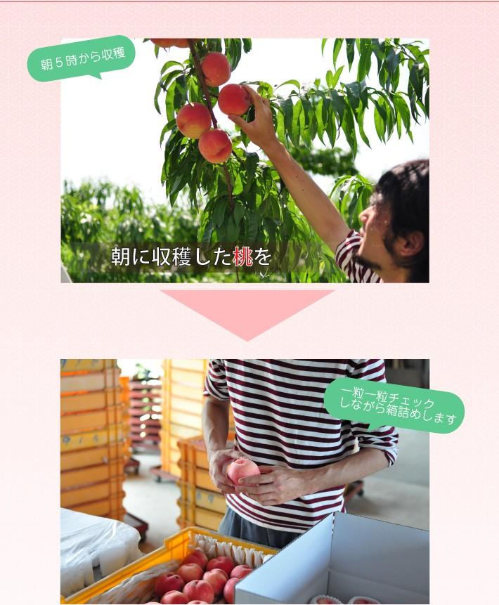 朝穫りの桃を丁寧に箱詰め