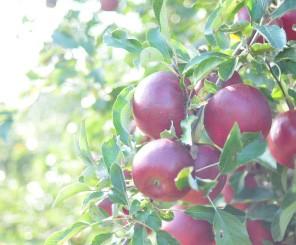 伊達水蜜園のりんご