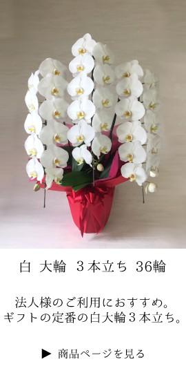 お祝い 胡蝶蘭 コチョウラン ギフト 法人 定番 開業祝 開店祝い 開院祝い 就任祝い 周年