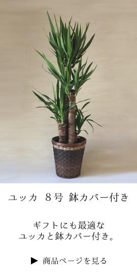 観葉植物 お祝い ユッカ 青年の木 ギフト 法人 定番 開業祝 開店祝い 開院祝い 就任祝い 周年