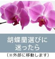 胡蝶蘭の選び方 参考 相場 値段 大きさ 基準 お祝い