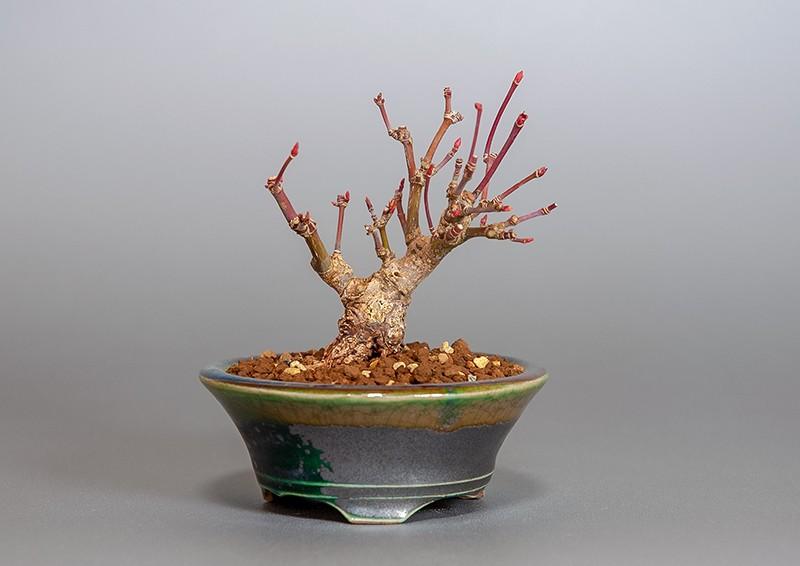 """イロハモミジ-3829-1(いろは紅葉盆栽)Acer palmatum bonsaiの販売:e-盆栽 ヤフー店"""" width="""