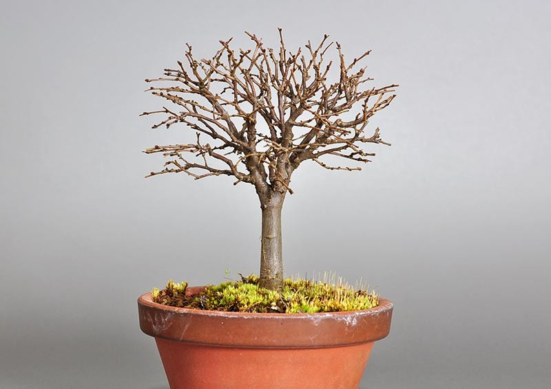 ケヤキ盆栽 e-盆栽 ヤフー店のケヤキ-J1-1(欅盆栽)Zelkova serrata bonsaiの販売
