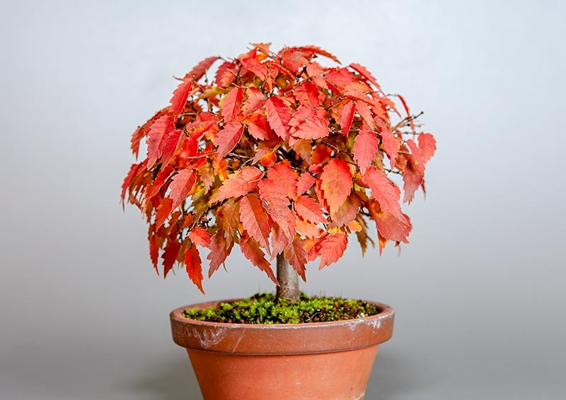 ケヤキ盆栽 e-盆栽 ヤフー店のケヤキ-J1-2(欅盆栽)Zelkova serrata bonsaiの販売
