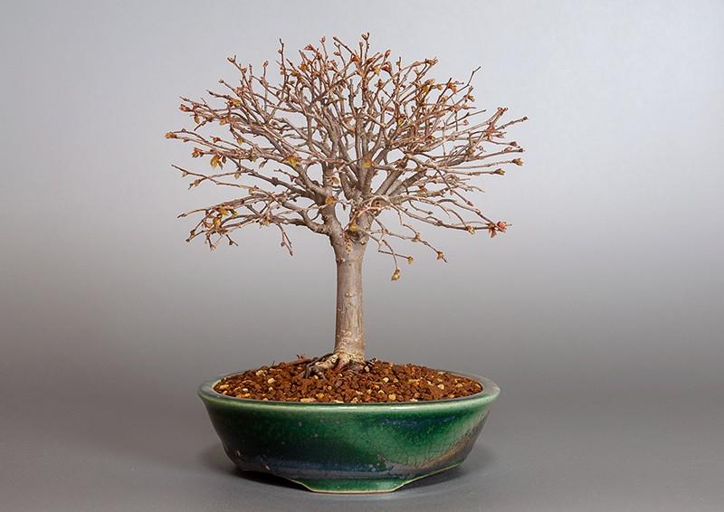 ケヤキ盆栽 e-盆栽 ヤフー店のケヤキ-J1-3(欅盆栽)Zelkova serrata bonsaiの販売