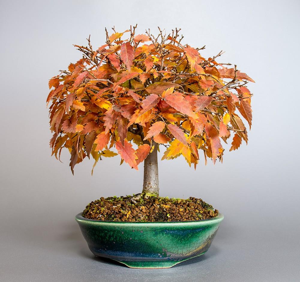 ケヤキ盆栽 e-盆栽 ヤフー店のケヤキ-J1-4(欅盆栽)Zelkova serrata bonsaiの販売