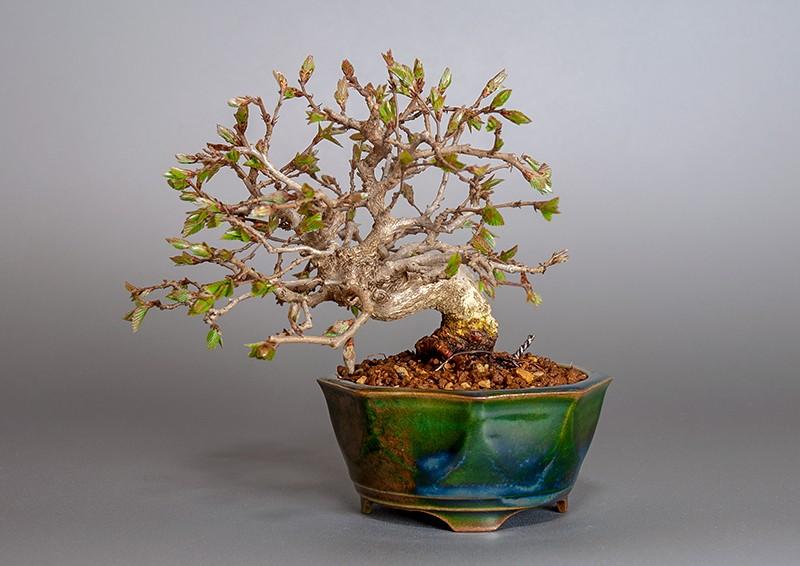 イワシデ-3855-6-1(いわしで・岩四手盆栽)bonsaiの販売:e-盆栽 ヤフー店