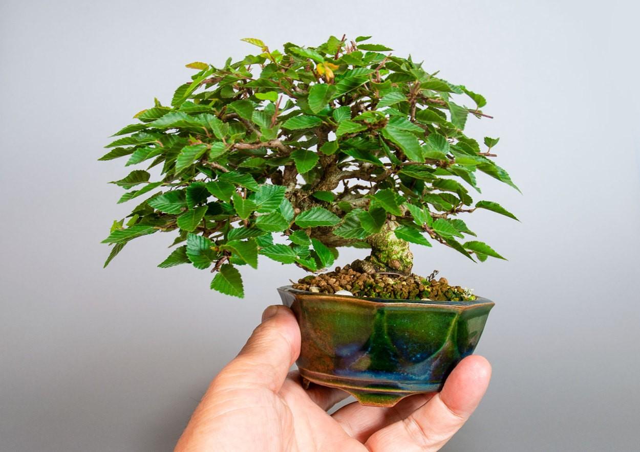 イワシデ-3855-7-6(いわしで・岩四手盆栽)bonsaiの販売:e-盆栽 ヤフー店