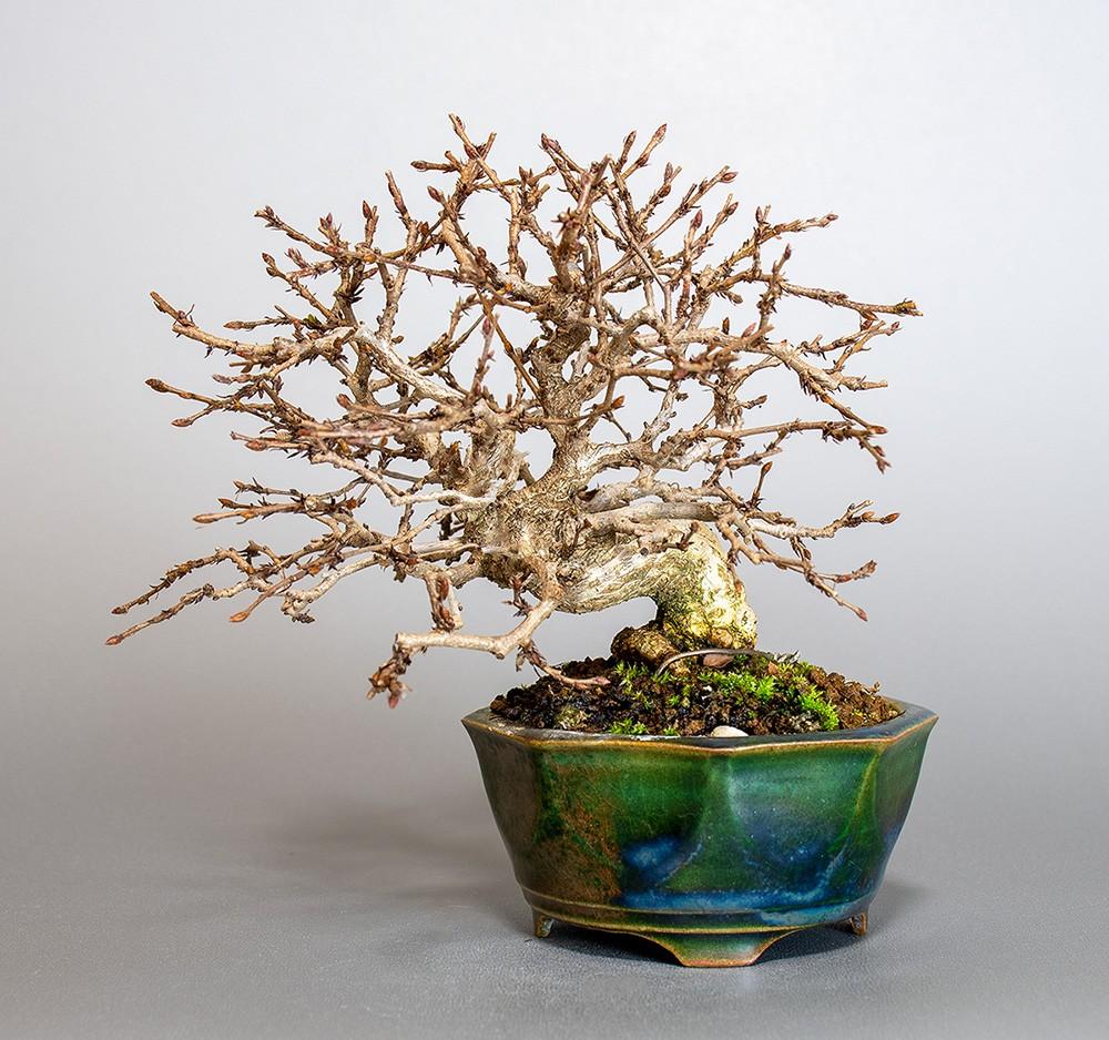 イワシデ-3855-8-1(いわしで・岩四手盆栽)bonsaiの販売:e-盆栽 ヤフー店