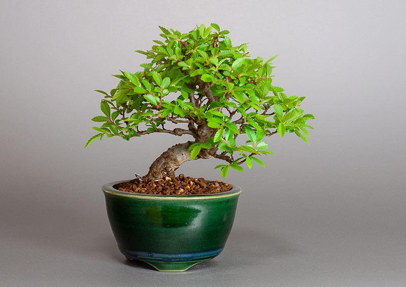 """ニレケヤキ-3881-1(楡欅盆栽)Ulmus parvifolia bonsaiの販売:e-盆栽 ヤフー店"""" width="""