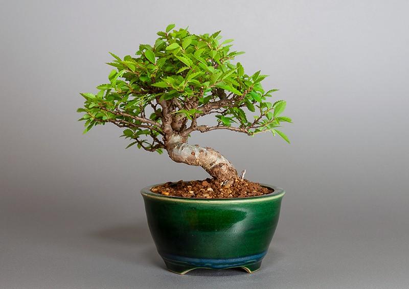 """ニレケヤキ-3881-2(楡欅盆栽)Ulmus parvifolia bonsaiの販売:e-盆栽 ヤフー店"""" width="""