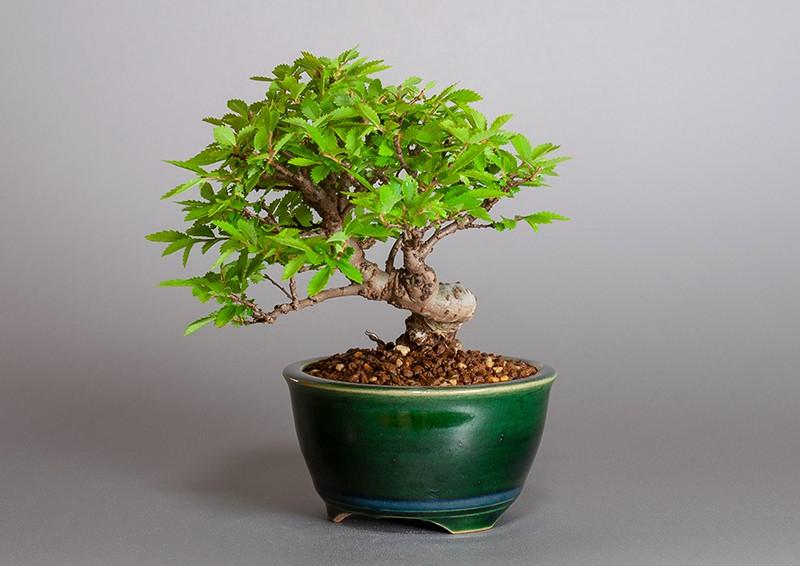 """ニレケヤキ-3881-3(楡欅盆栽)Ulmus parvifolia bonsaiの販売:e-盆栽 ヤフー店"""" width="""