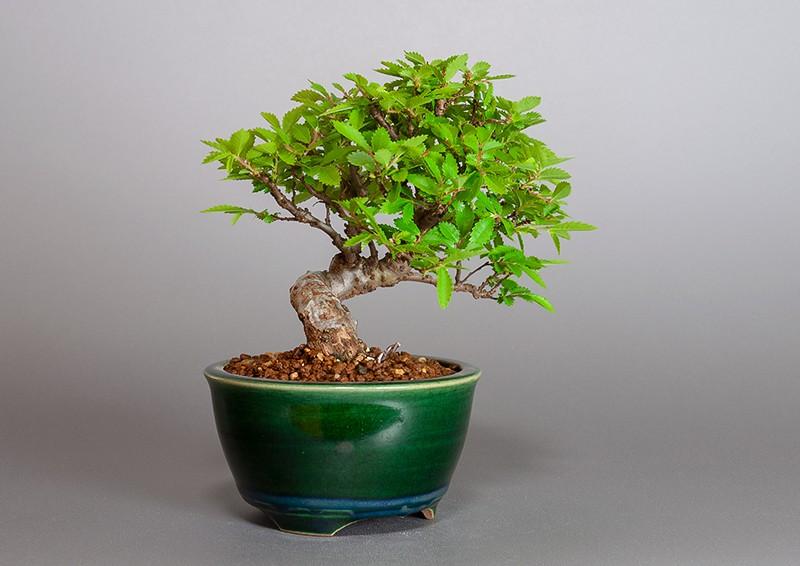 """ニレケヤキ-3881-4(楡欅盆栽)Ulmus parvifolia bonsaiの販売:e-盆栽 ヤフー店"""" width="""