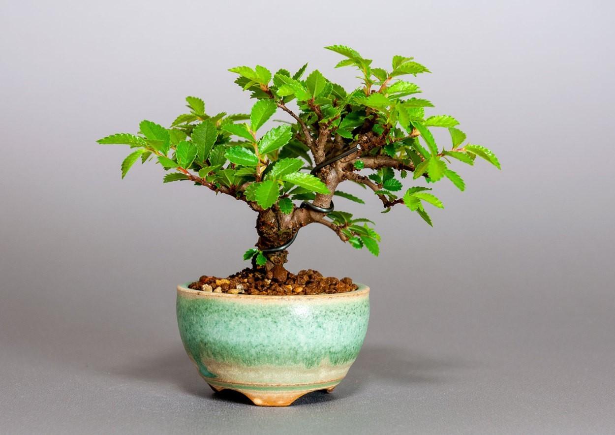 """ニレケヤキ-3908-1(楡欅盆栽)Ulmus parvifolia bonsaiの販売:e-盆栽 ヤフー店"""" width="""