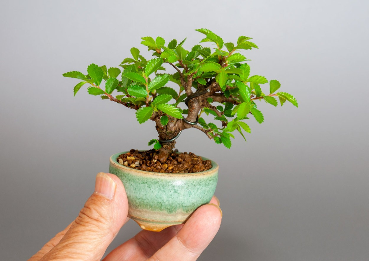 """ニレケヤキ-3908-6(楡欅盆栽)Ulmus parvifolia bonsaiの販売:e-盆栽 ヤフー店"""" width="""