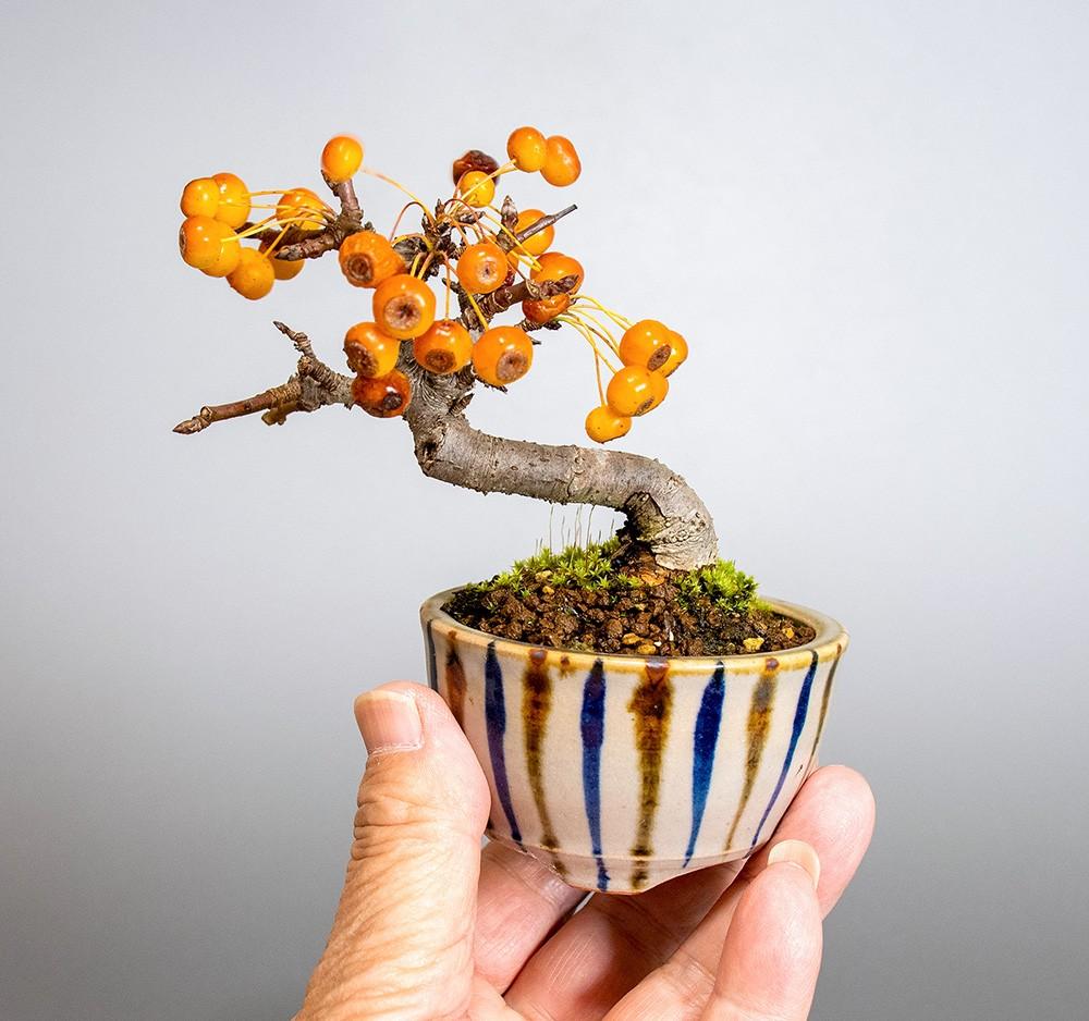 ズミ-4029-1-5(ずみ・酢実盆栽)bonsaiの販売:e-盆栽 ヤフー店
