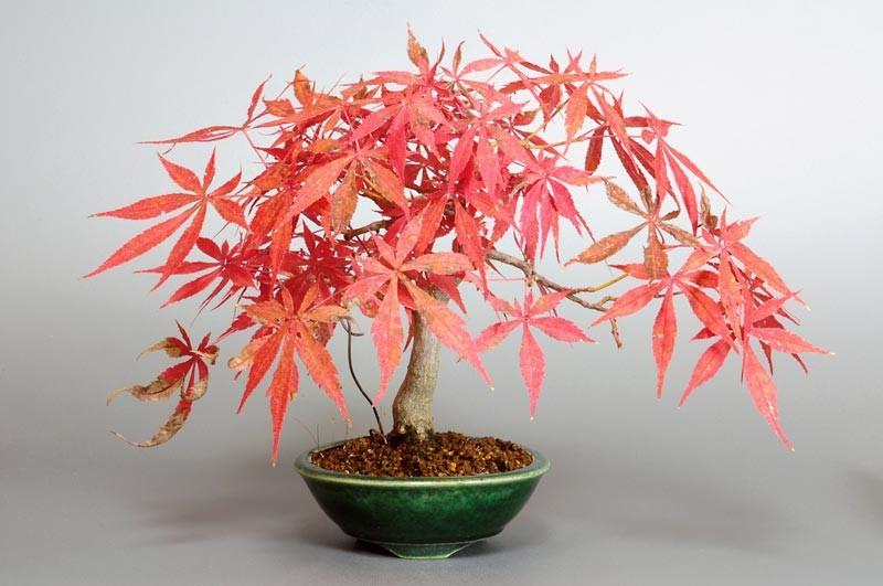 モミジ ベニカガミ-4033-2-1(べにかがみ・紅鏡紅葉盆栽)bonsaiの販売:e-盆栽 ヤフー店